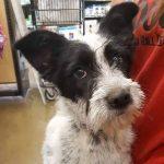 Skippy the scruffy terrier